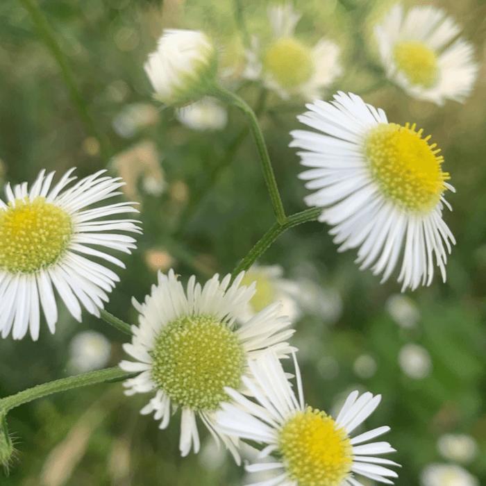August Spark